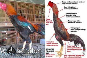 Memilih Ayam Aduan Hebat
