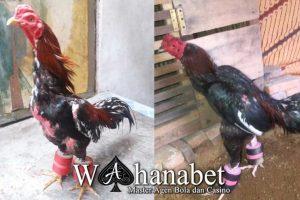 cara membentuk otot ayam aduan muda