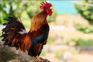 cara membuat jamu herbal untuk ayam aduan